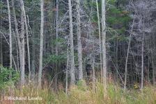 Intimate Cedar Landscape by Richard Lewis
