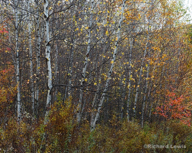 Fall Birches by Richard Lewis