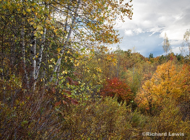 Birch Grove in the Fall by Richard Lewis