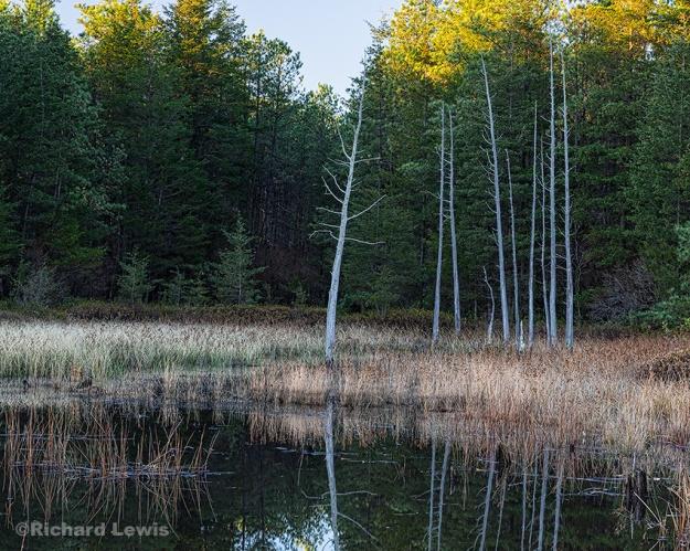 Cedar Trees on Chatsworth Lake by Richard Lewis