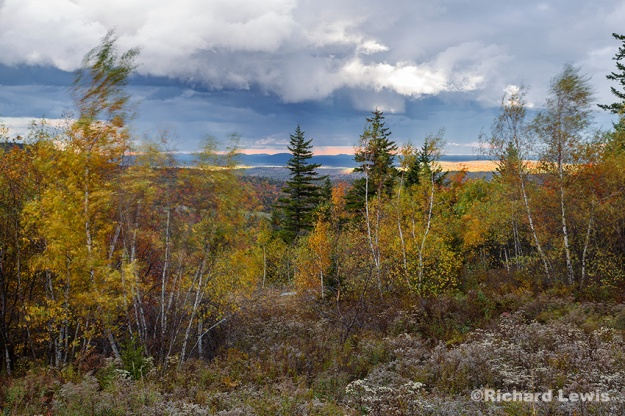 Breezy New Hampshire Birches by Richard Lewis