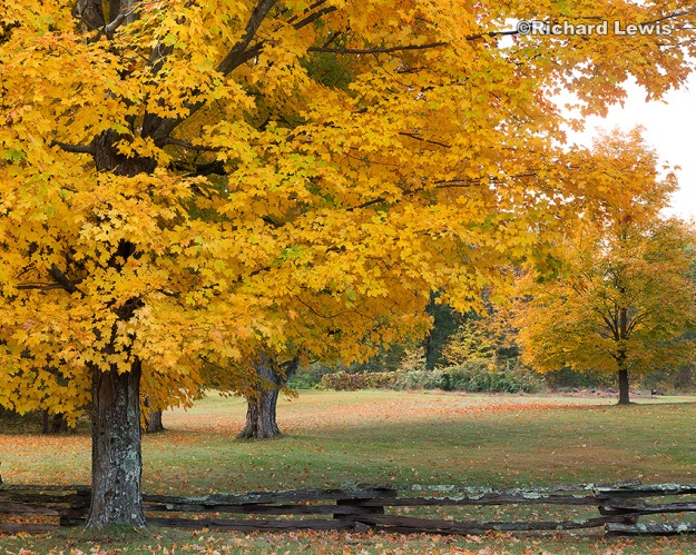 Fall Trees in Southampton Massachusetts by Richard Lewis