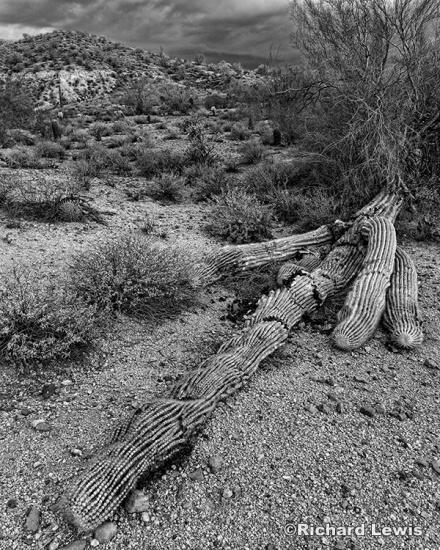 Fallen Cactus by Richard Lewis McDowell Mountain Park