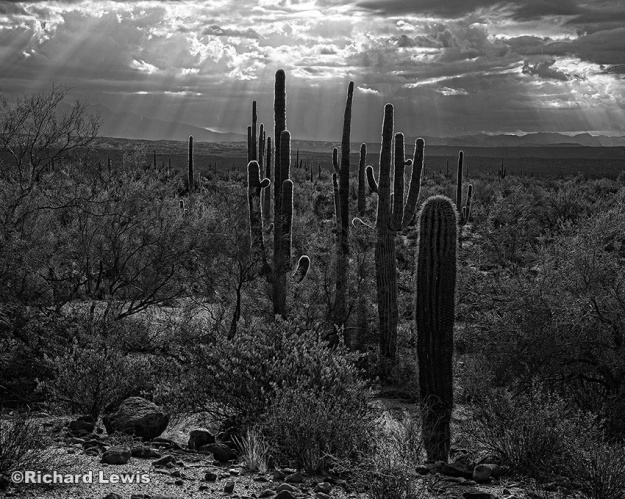 Glowing Cacti by Richard Lewis McDowell Mountain Park