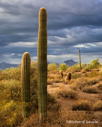 Morning Cacti by Richard Lewis McDowell Mountain Park